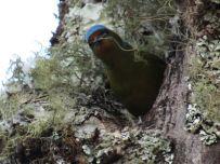 Eufonia capucha azul. Boquete / Panamá