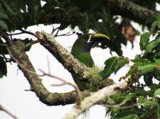 Tucancillo Verde. Boquete / Panamá