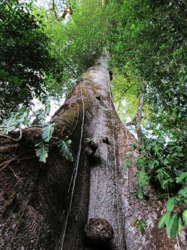 Árbol centenario en Punta Mala