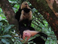 Monos carablanca en Dominical