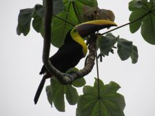 Tucán en Dominical
