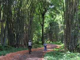 Bambu en Uvita