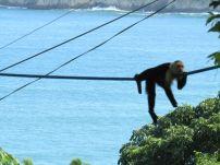 Mono carablanca en Manuel Antonio