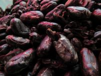Granos de cacao en Cahuita / Limón