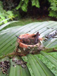 Nido de colibrí en el Chante / Cabuya / Puntarenas