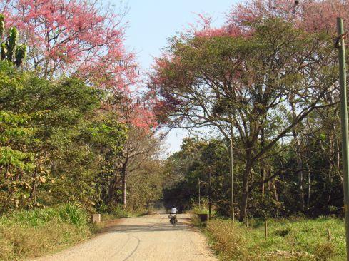 Carao en flor / Guanacaste